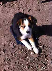 Puppies for sale Kellevie Sorell Area Preview