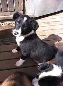 Puppy for sale Kellevie Sorell Area Preview