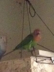 Young lovebird OBO