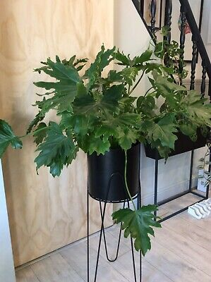 Selloum Philodendron House Plant - Large