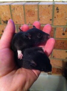 Baby rats TAME Kariong Gosford Area Preview
