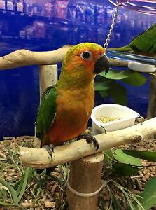 Hand raised Jenday Conures Beaumont Hills The Hills District Preview