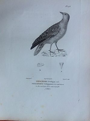 Tinochore D'Orbigny Mas Etching 1830 Ornithology Birds Centurie Zoologique