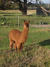 Young intact purebred huacaya alpaca Pozieres Southern Downs Preview