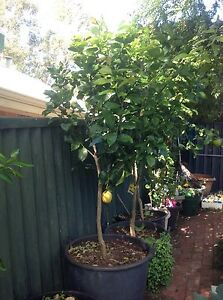 Lemon Tree Established in Large Container Fremantle Fremantle Area Preview