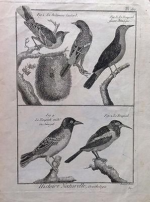 Troupiale D'Antigua Baltimor Benard 1790 Histoire Naturelle Ornithology Birds