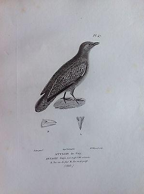 Attagis of Gay Etching XIV Century Ornithology Birds Centurie Zoologique