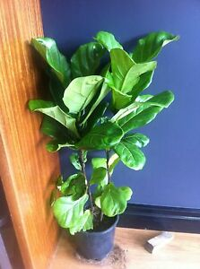 FIDDLE LEAF FIG (FICUS LYRATA) Wavell Heights Brisbane North East Preview