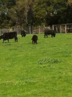 Cows calves heifers for sale  Bittern Mornington Peninsula Preview