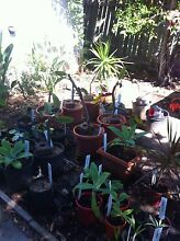 Plants For Sale! Frangipani, yucca, agave, golden cane cheap! Battery Hill Caloundra Area Preview