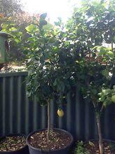 Lemon tree established in large pot Fremantle Fremantle Area Preview