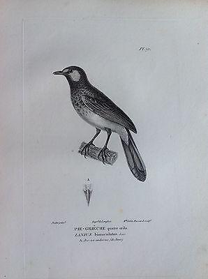 Pie-Gréche 4 Eye Java Etching 1830 Ornithology Birds Centurie Zoologique
