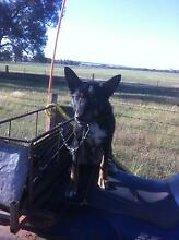 working Kelpie for sale Molong Cabonne Area Preview
