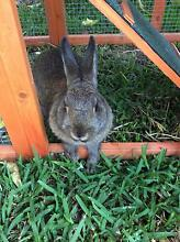 Netherland dwarf rabbit Clarinda Kingston Area Preview