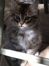Beautiful kittens Kingston South Canberra Preview