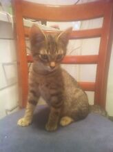 12 week old male kittens Glenorchy Glenorchy Area Preview
