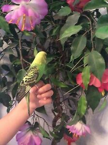 Hand raised baby budgie & cage $55 Calamvale Brisbane South West Preview