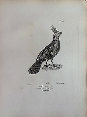 Colin Coquet Gallinacee Etching 1830 Ornithology Birds Centurie Zoologique