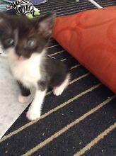 8 week old kitten Thorneside Redland Area Preview