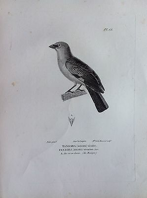 Tangara Aglaia Mexico Etching 1830 Ornithology Birds Centurie Zoologique