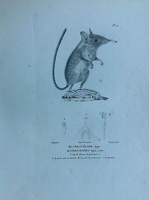 Elephant Shrew Mouse Spider Incision 1830 Storia Natural Centurie Zoologique
