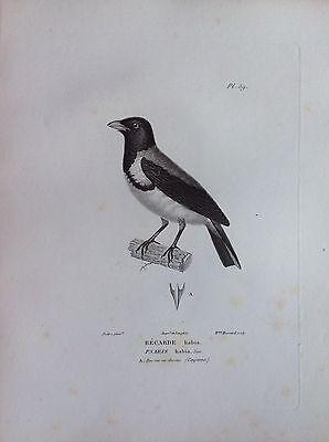 Bécarde Habia (Cayenne) Etching 1830 Ornithology Birds Centurie Zoologique