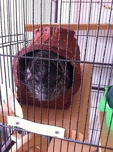 Male Chinchilla - Amherst Area