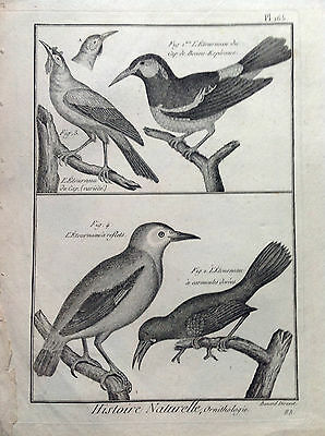 Starling D Wattles Golden Benard 1790 Histoire Naturelle Ornithology Birds