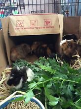 Guinea pigs Glenwood Blacktown Area Preview