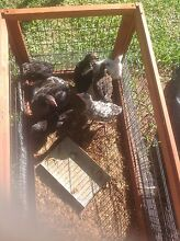 Chickens for sale Vineyard Hawkesbury Area Preview
