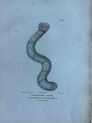Holothurie Island Bora Bora Etching 1830 Storia Natural Centurie Zoologique