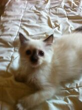 Dragonfly Pedigree Ragdoll Kitten ( 1 Left) Langwarrin Frankston Area Preview