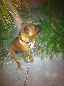 Staffordshire bull terrier (play date wanted with female) Scarborough Stirling Area Preview