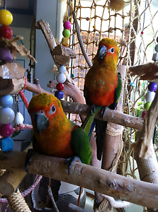 Hand Raised Jenday Conures Caboolture Caboolture Area Preview