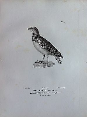 Tinochore D'Eschscholtz Etching 1830 Ornithology Birds Centurie Zoologique