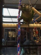 Green Cheek Conures Prospect Vale Meander Valley Preview