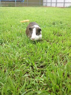 GUINEA PIG  ( SOLD PENDING PAYMENT ) Munno Para Playford Area Preview