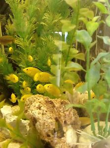 Cichlids OB,Dragon.bl, Ellectric yellow,cadango Quinns Rocks Wanneroo Area Preview