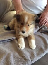 Rough collie pups Lower Belford Singleton Area Preview