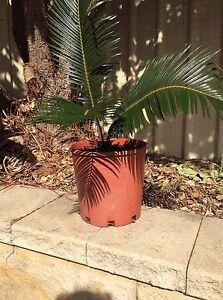 CYCAD PLANT Shellharbour Shellharbour Area Preview