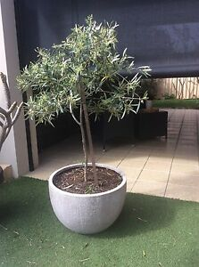 Olive tree in modern stone pot Maylands Bayswater Area Preview