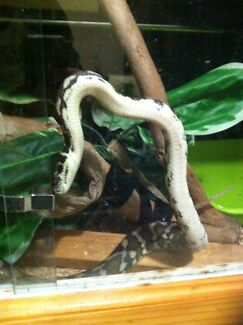 Female Darwin Python Hastings Mornington Peninsula Preview