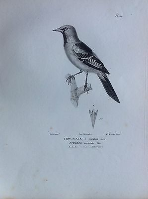 Troupiale Chin Black Mexico Etching 1830 Ornithology Birds C.Zoologique