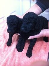 Poodle puppies standard Whittlesea Whittlesea Area Preview