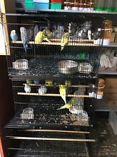 Budgies For Sale $20.00! Various Colours! St Marys Penrith Area Preview