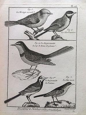 Ballerina Motacilla Alba Benard 1790 Histoire Naturelle Ornithology Birds