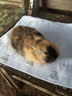 Netherlands dwarf bunny rabbits Tullamarine Hume Area Preview