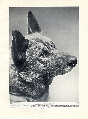 NORWEGIAN ELKHOUND HEAD STUDY NAMED DOG OLD ORIGINAL DOG PRINT PAGE FROM 1934