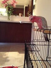 Beautiful Galah for sale! City Beach Cambridge Area Preview