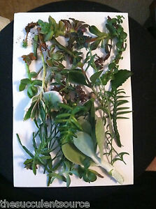 Mystery succulent cutting lot 10 awesome succulent cuttings beautiful - Plants for every room in your home extra comfort and health ...